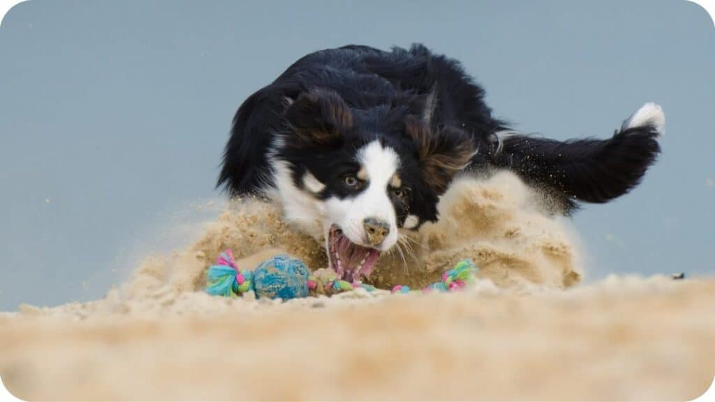 Border Collie Playing In Beach
