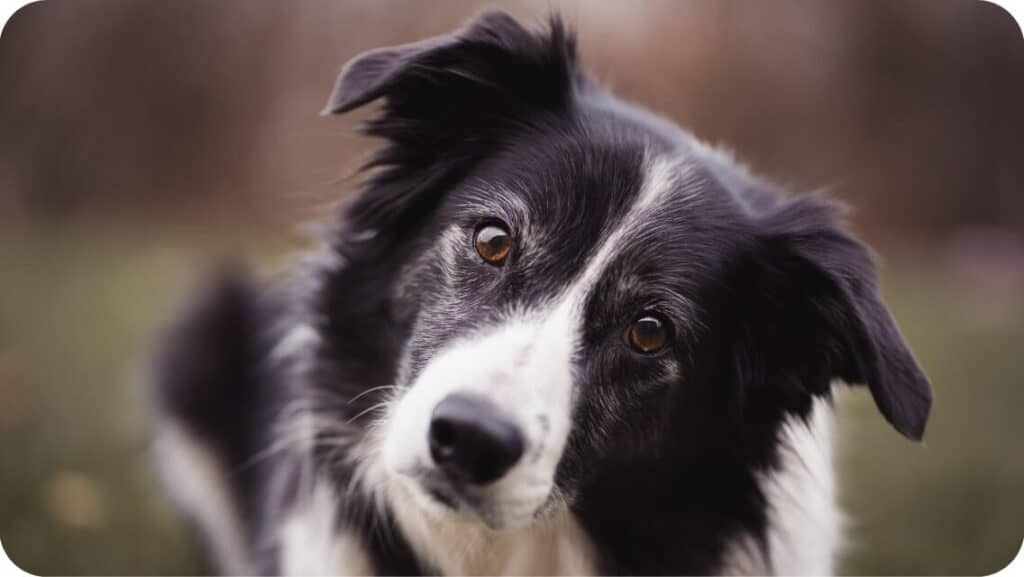 Border Collie Stare At You