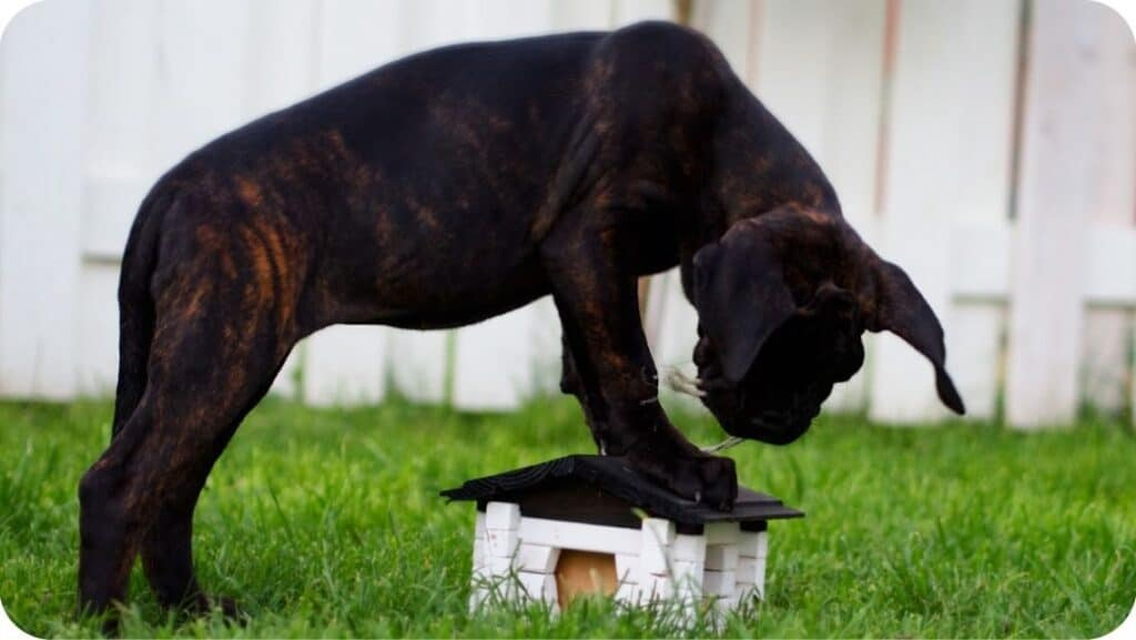 Cane Corso Looking For
