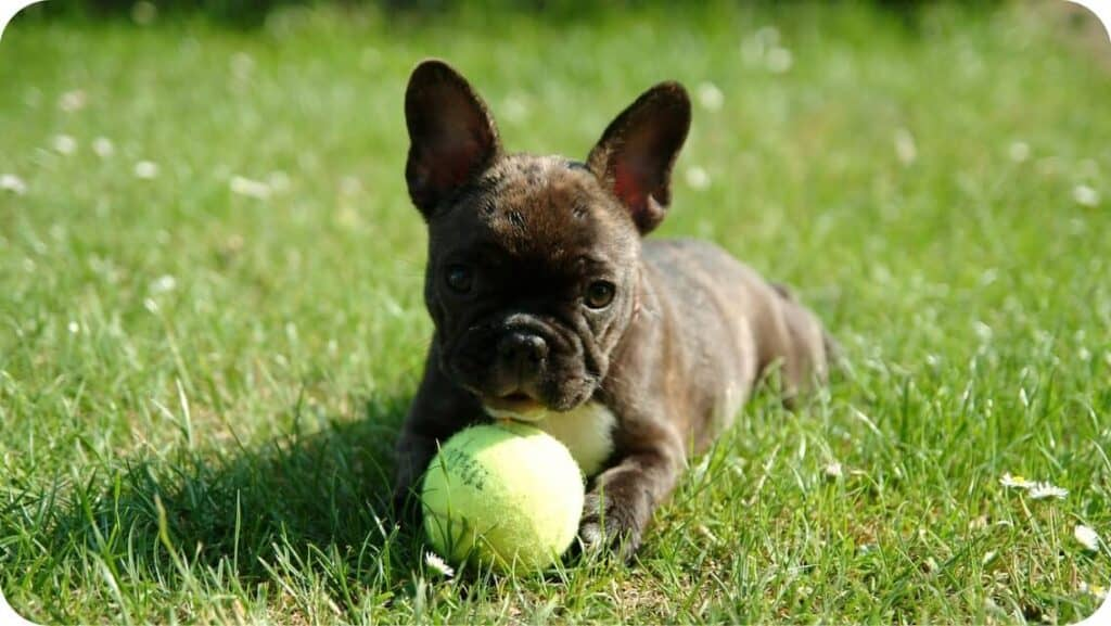 French Bulldog With Tenis Ball