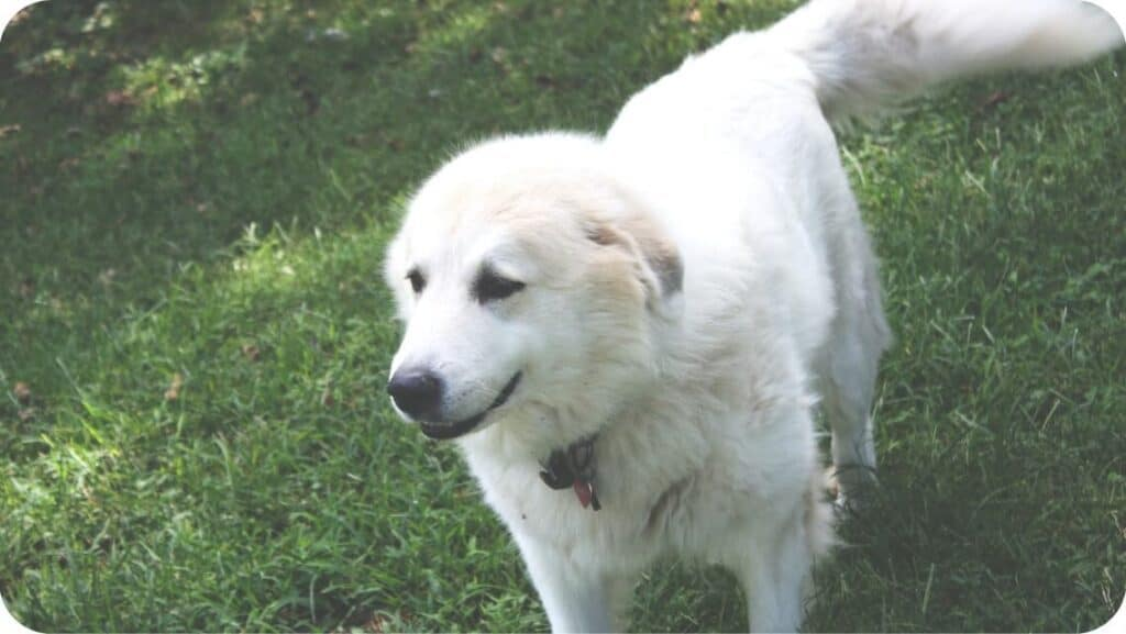 Great Pyrenees Canine