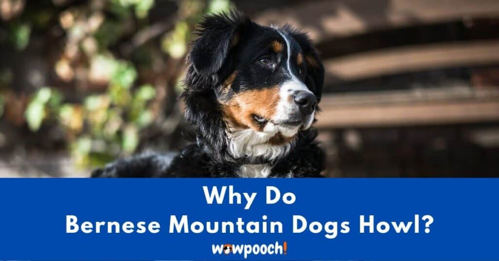 Why Do Bernese Mountain Dogs Howl?