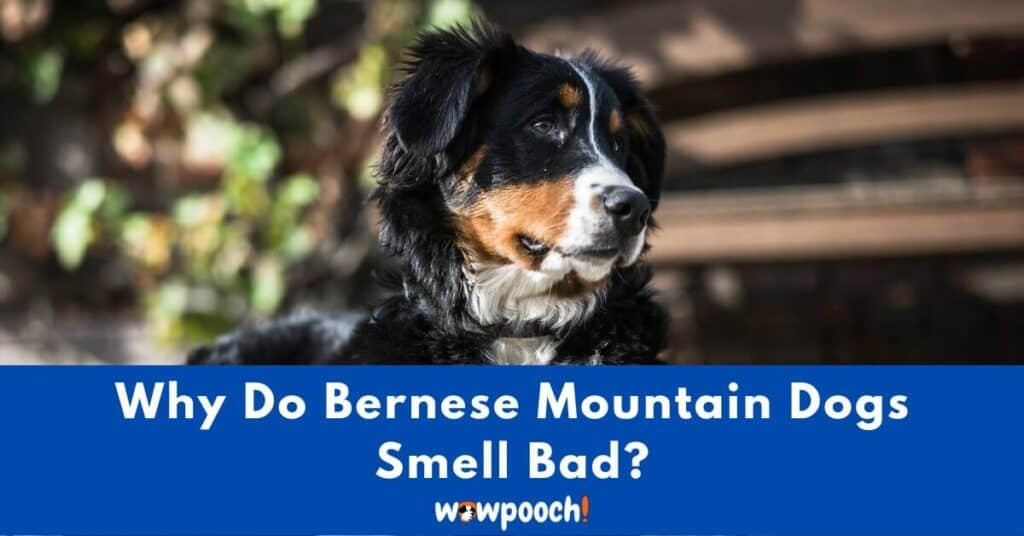 Why Do Bernese Mountain Dogs Smell Bad?