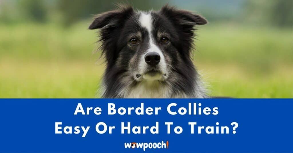 Are Border Collies Easy Or Hard To Train?