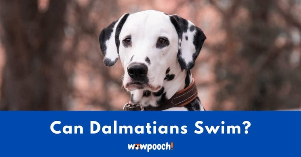 Can Dalmatians Swim?