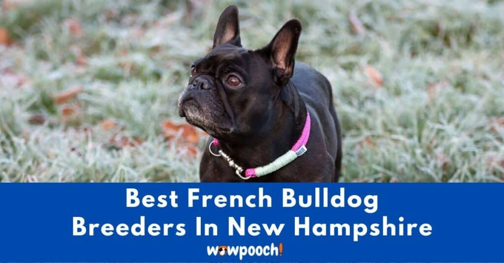 Top 4 Best French Bulldog Breeders In New Hampshire (NH) State