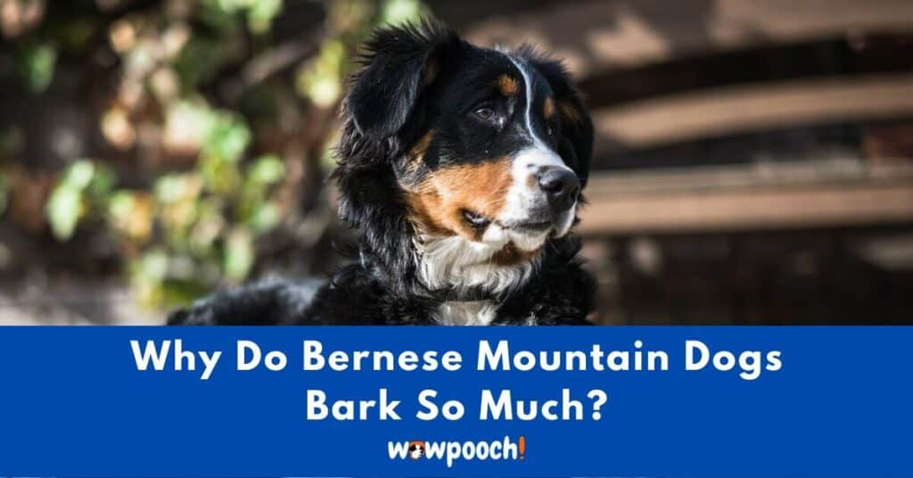 Why Do Bernese Mountain Dogs Bark So Much?